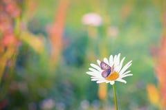 关闭一只蝴蝶的射击在雏菊的 图库摄影