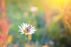 关闭一只蝴蝶的射击在雏菊的 免版税库存图片