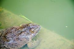 关闭一只蟾蜍在池塘 图库摄影