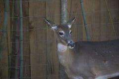 关闭一只谨慎母鹿 免版税库存图片