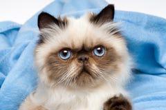 关闭一只逗人喜爱的幼小波斯封印colourpoint小猫 免版税图库摄影