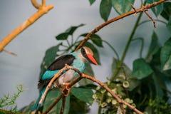 关闭一只逗人喜爱的蓝色breasted翠鸟的射击 库存照片