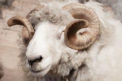 关闭一只野生大有角的绵羊的头和垫铁在来自南方的风暴的 库存图片