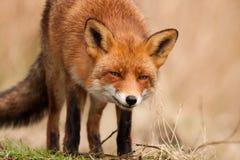 关闭一只野生狐狸 库存照片