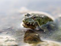 关闭一只青蛙在水中 库存图片