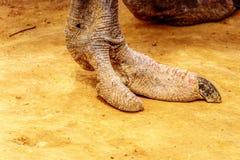 关闭一只驼鸟脚在一个驼鸟农场在南非的西开普省省的Oudtshoorn 库存照片
