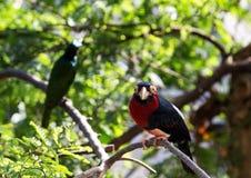 关闭一只鸟的射击与红色和黑颜色的 库存图片