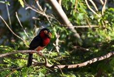 关闭一只鸟的射击与红色和黑颜色的 免版税库存照片