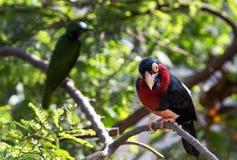 关闭一只鸟的射击与红色和黑颜色的 库存照片