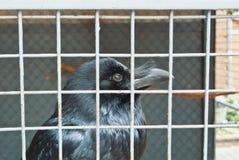 关闭一只黑掠夺乌鸦的头在老葡萄酒金属加州的 免版税库存图片