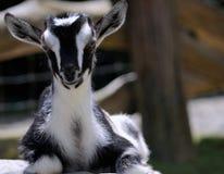 关闭一只黑&白色孩子山羊 免版税库存照片