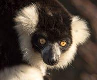 关闭一只黑白ruffed狐猴 免版税图库摄影