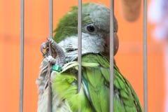 关闭一只绿色鹦鹉` s眼睛 免版税库存照片