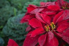 关闭一品红树冬天背景,狂放大戟属的pulcherrima 免版税库存照片