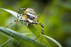 关闭一大恼怒的女性黄蜂蜘蛛Argiope bruennichi 免版税库存图片