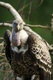 关闭一大欧亚兀鹫欺骗fulvus 库存图片