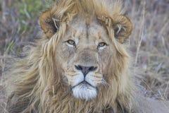 关闭一头公狮子 免版税库存照片