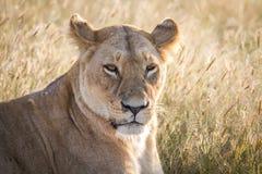 关闭一头母狮子在Chobe 库存照片