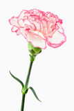 关闭一支空白和桃红色康乃馨 库存图片