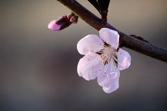 关闭一朵桃红色桃子花和芽 免版税库存图片