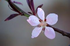 关闭一朵桃红色桃子花 免版税库存照片