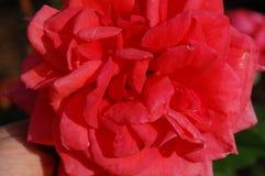 关闭一朵桃红色玫瑰 库存照片