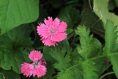 关闭一朵桃红色甜威廉石竹barbatus花的中心 免版税库存图片