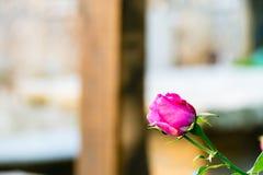 关闭一朵桃红色罗斯花 库存照片
