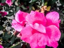 关闭一朵流行粉红花 库存图片