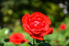 关闭一朵玫瑰在庭院里 免版税库存图片