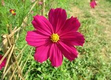 关闭一朵生动的桃红色开花的波斯菊花在阳光下 库存图片