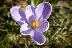 关闭一朵番红花在春天 库存照片