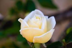 关闭一朵白色和黄色玫瑰 库存照片