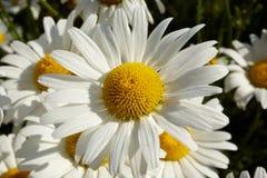 关闭一朵白色延命菊雏菊的细节 免版税图库摄影