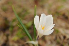 关闭一朵白色春天番红花 库存图片