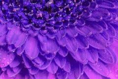 关闭一朵紫色格伯花的看法 图库摄影