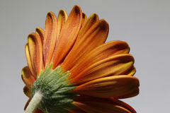 关闭一朵红色大丁草花的后面 免版税库存照片
