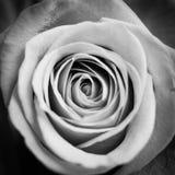 关闭一朵红色玫瑰的宏观射击,黑白 库存图片