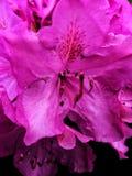 关闭一朵美丽的桃红色花 免版税库存照片