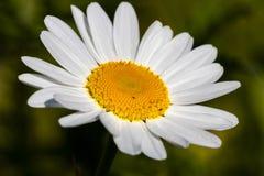 关闭一朵美丽的雏菊 免版税库存照片