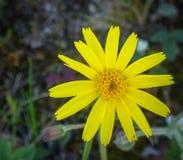 关闭一朵美丽的黄色野花 免版税库存照片