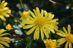关闭一朵美丽的黄色雏菊花的看法在狂放的 免版税库存照片