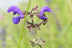 关闭一朵花在有一只蜂的一个庭院里在花 免版税库存照片