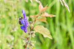 关闭一朵花在有一只蜂的一个庭院里在花 库存照片