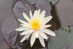 关闭一朵黄色莲花 免版税库存图片