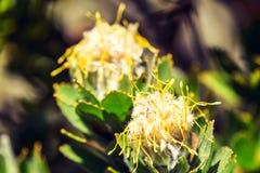 关闭一朵黄色针垫Leucospermum花的看法在Kasteelspoort供徒步旅行的小道 免版税图库摄影