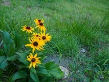 关闭一朵黑眼睛的苏珊花 亦称褐色长颈瓶 库存照片