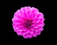 关闭一朵紫色大丽花杂种花的图象在黑isolat的 免版税库存照片