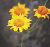 关闭一朵黄色雏菊 免版税图库摄影
