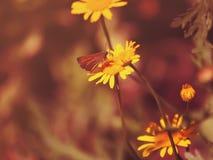 关闭一朵黄色雏菊 免版税库存图片
